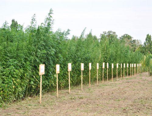 Saatstärken und Sortenversuch: Neues aus und über Hanf(thal)