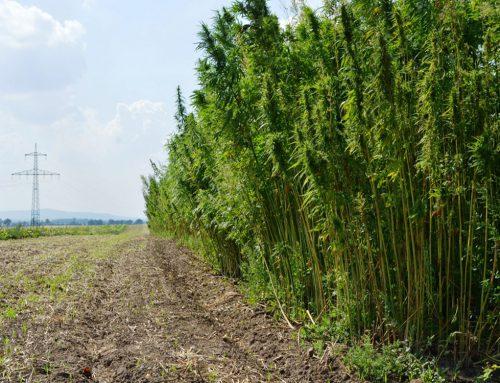 Hanfanbau jetzt noch lukrativer!